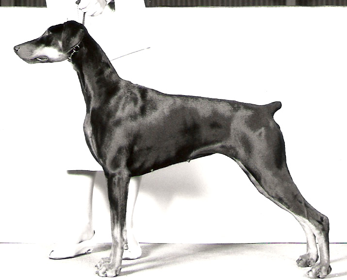 Dobe Ch. Parima the Audrey.jpg
