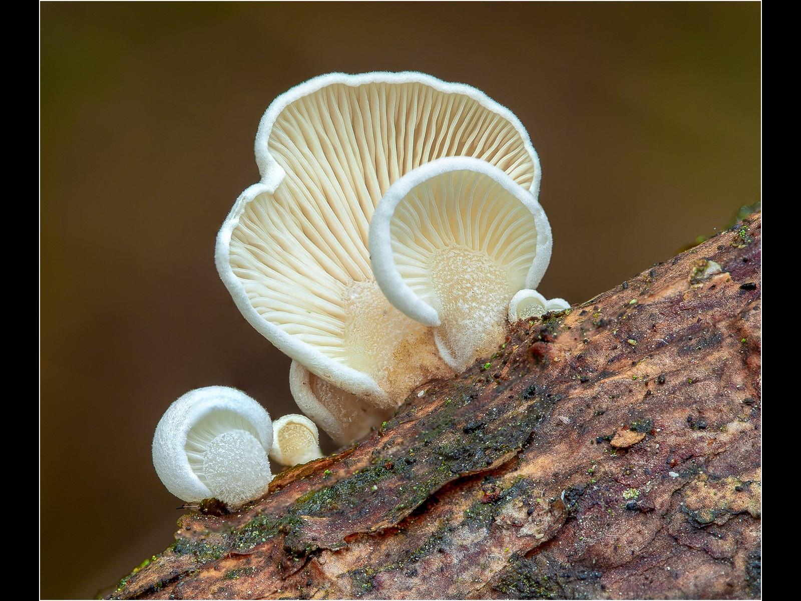 Crepidotus Variabilis