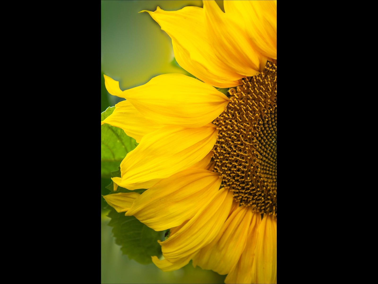 Garden Sunflower detail
