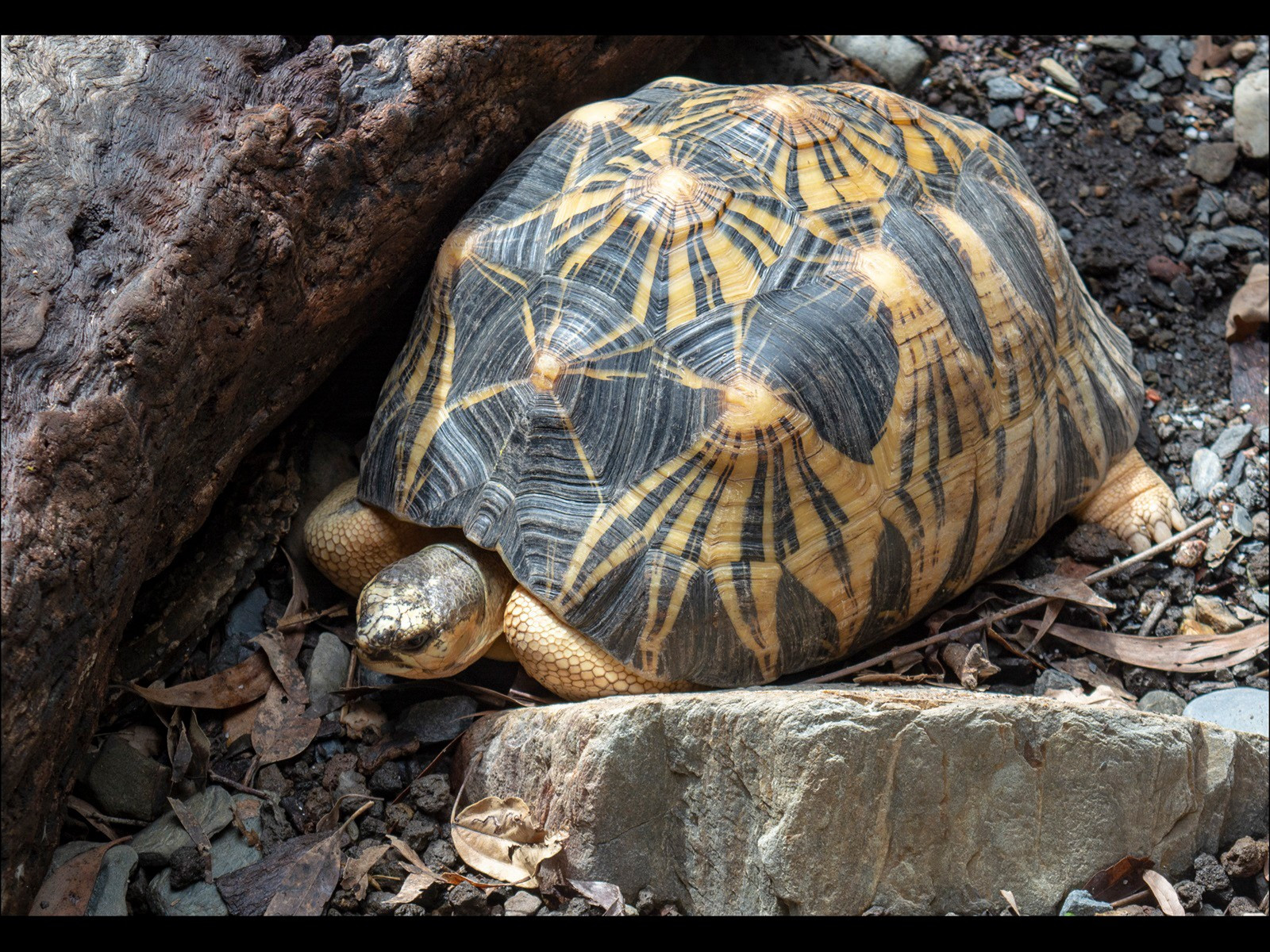 Radiated Tortoise in Australia