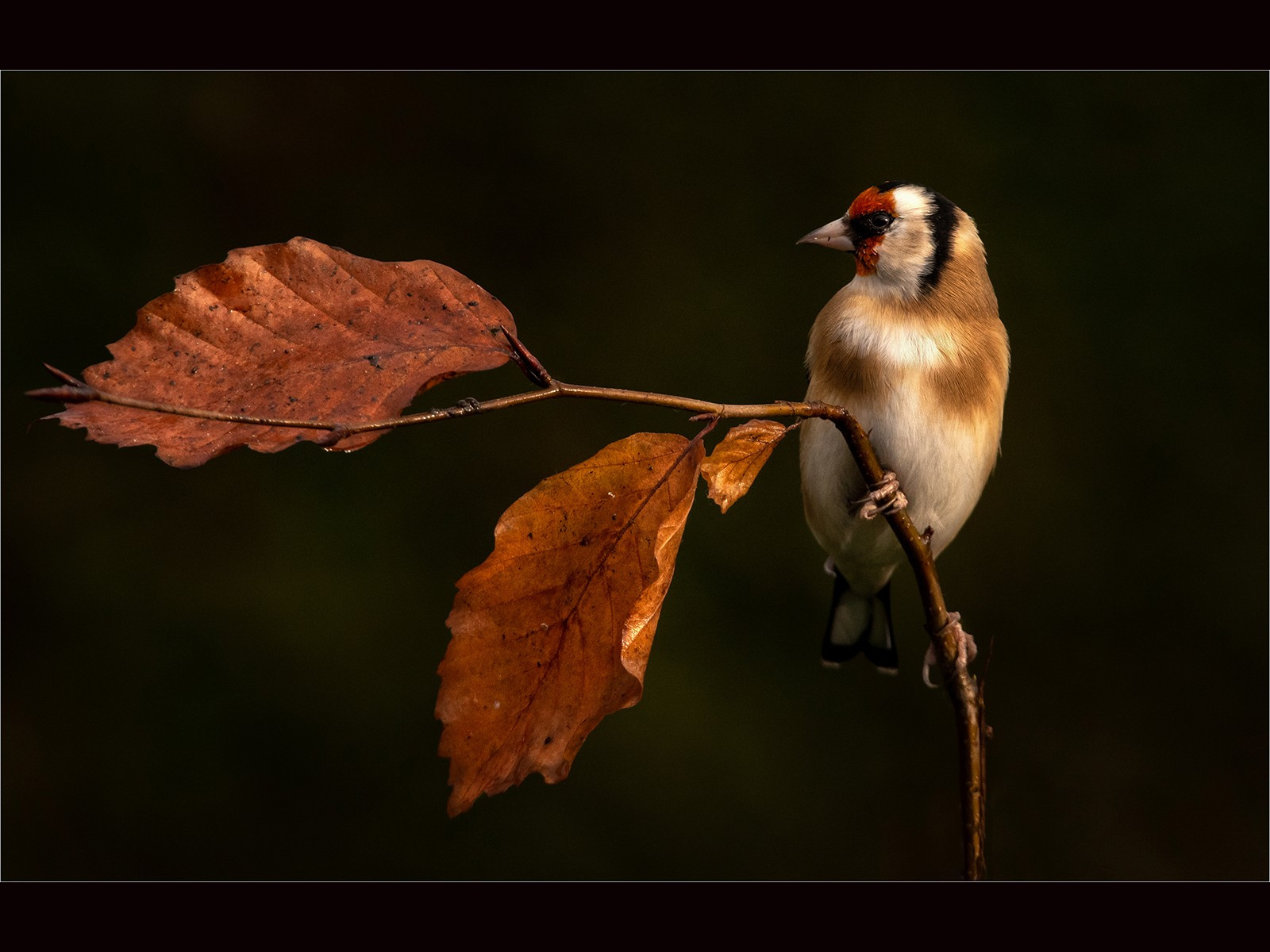 Early morning light on an Autumnal Goldfinch
