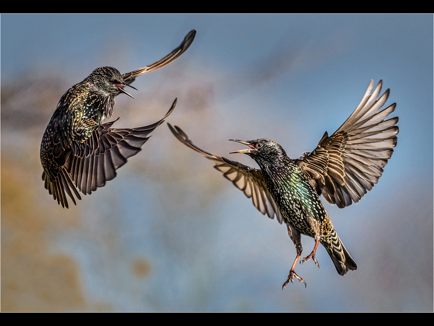 Fighting Starlings