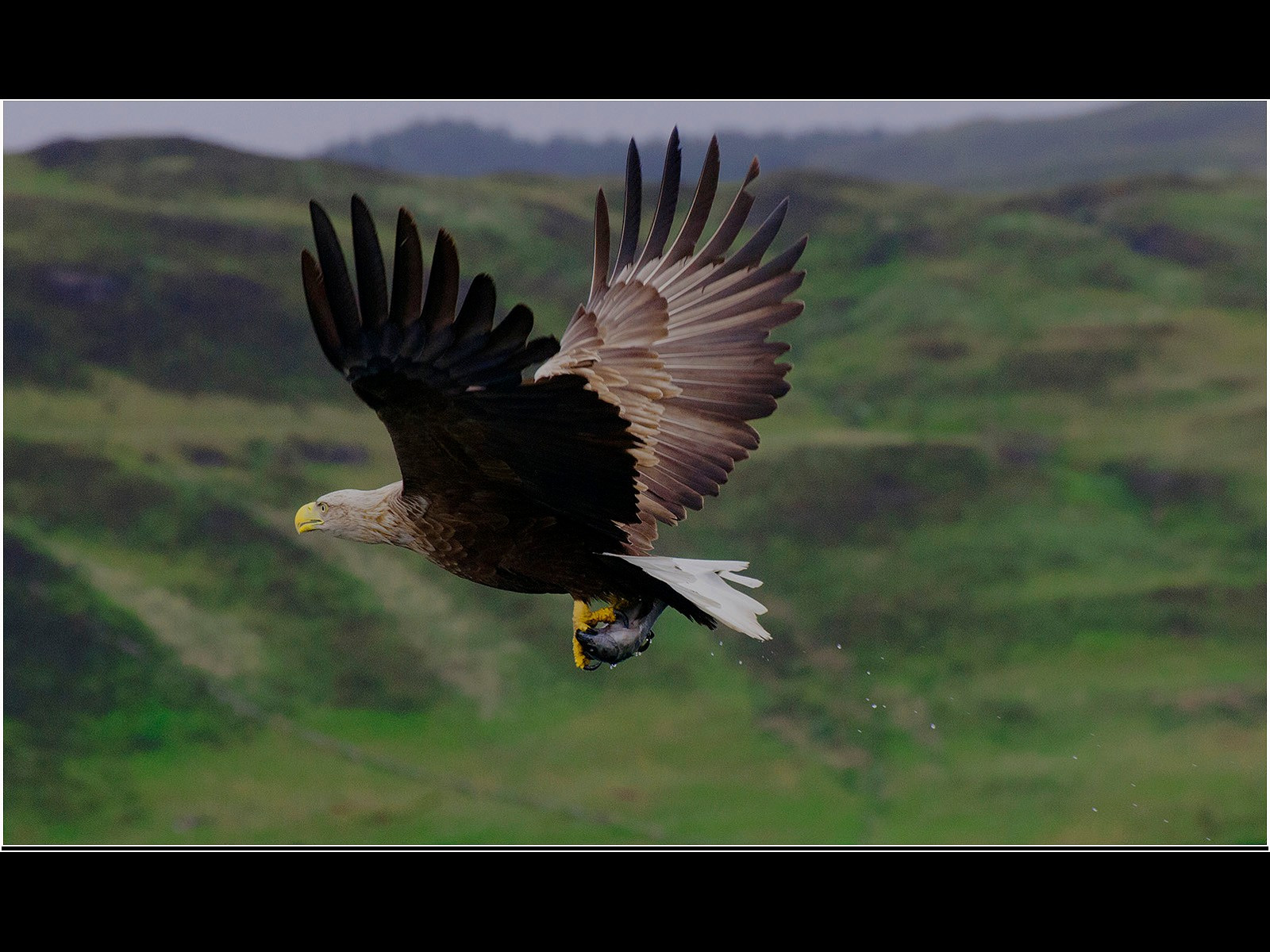 WhiteTailed Eagle with fish