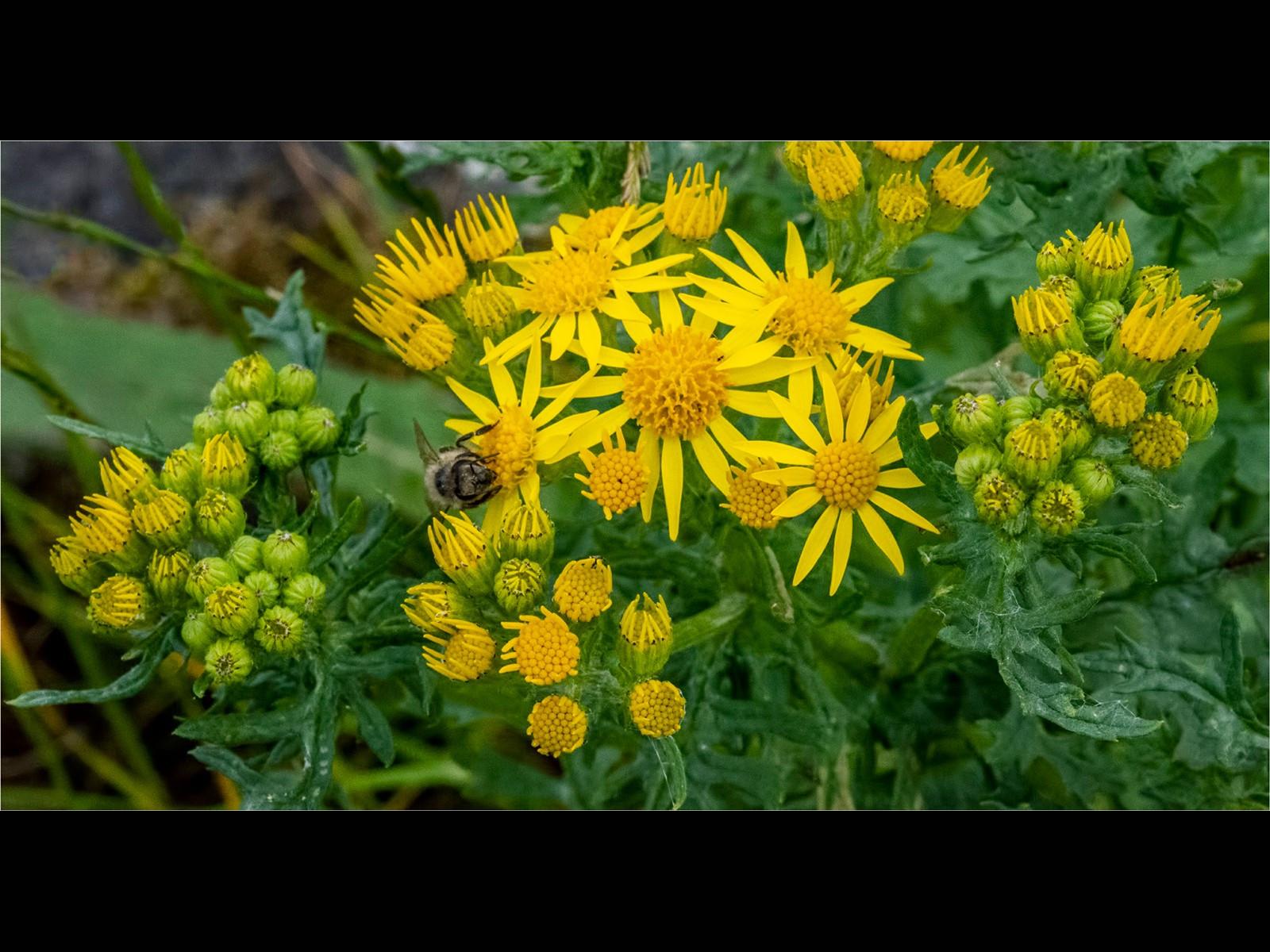 A Bee on Ragwort