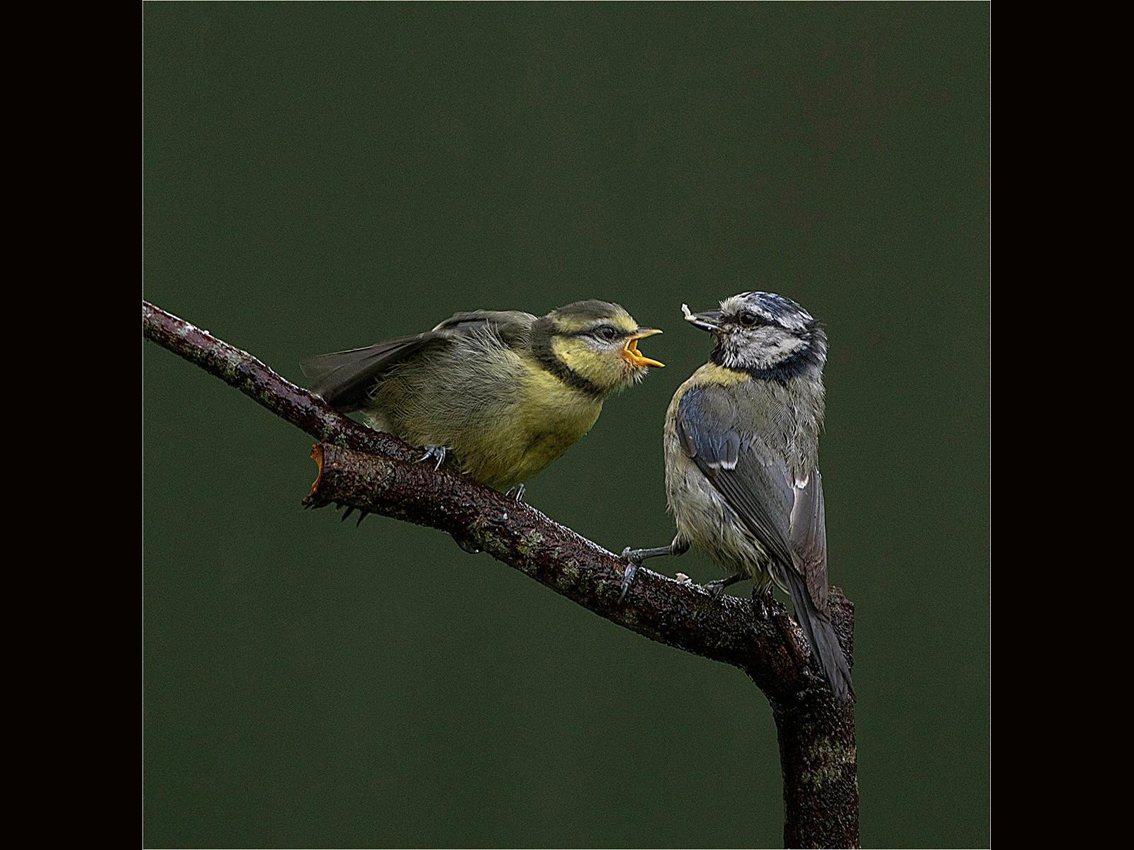 Female Blue Tit Feeding Young