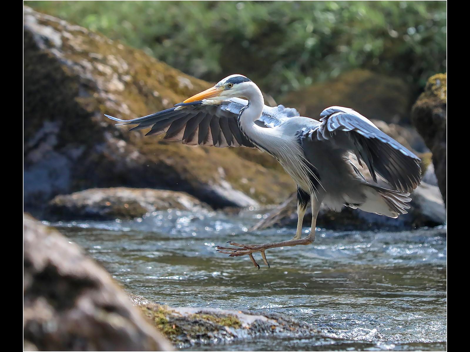 Grey Heron Coming Into Land