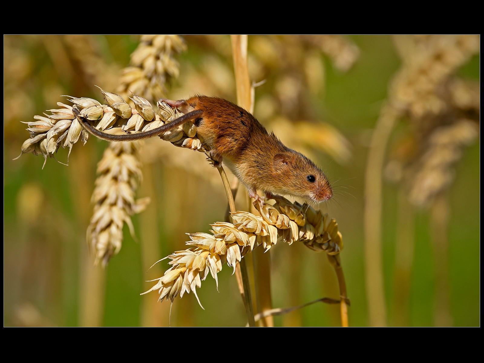 Harvest Mouse on Corn