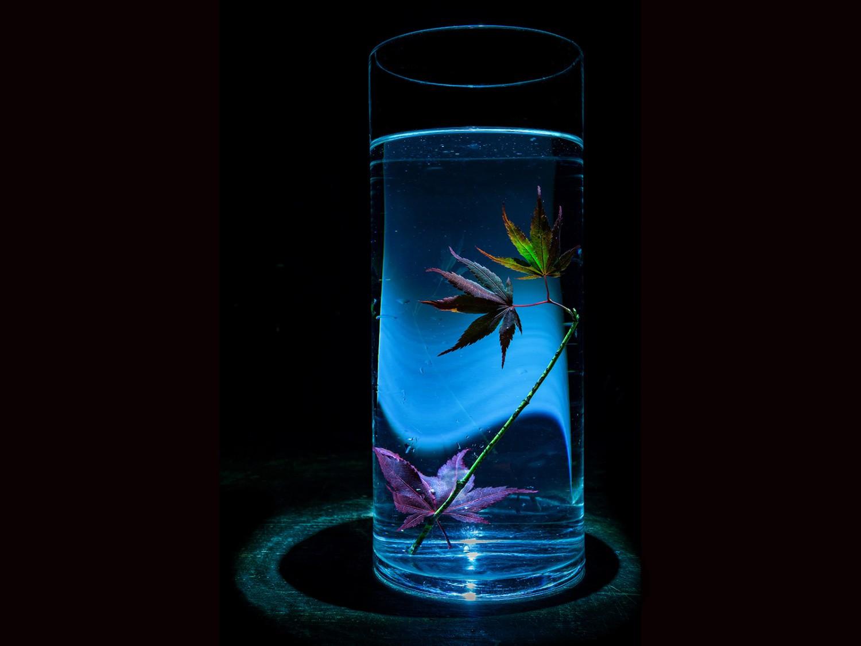 Acer Leaf in a water filled glass vase.