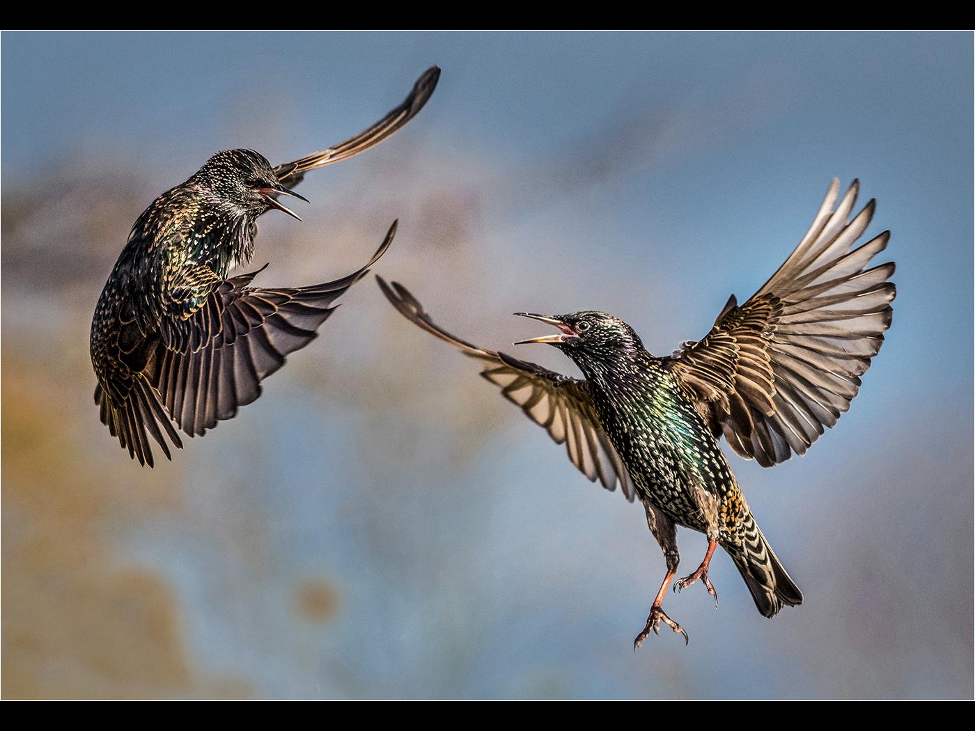 01_Bill Smith_Fighting Starlings