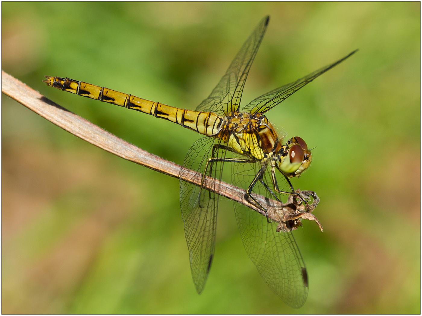 03_Roger Johnstone_Common Darter Dragonfly (female)