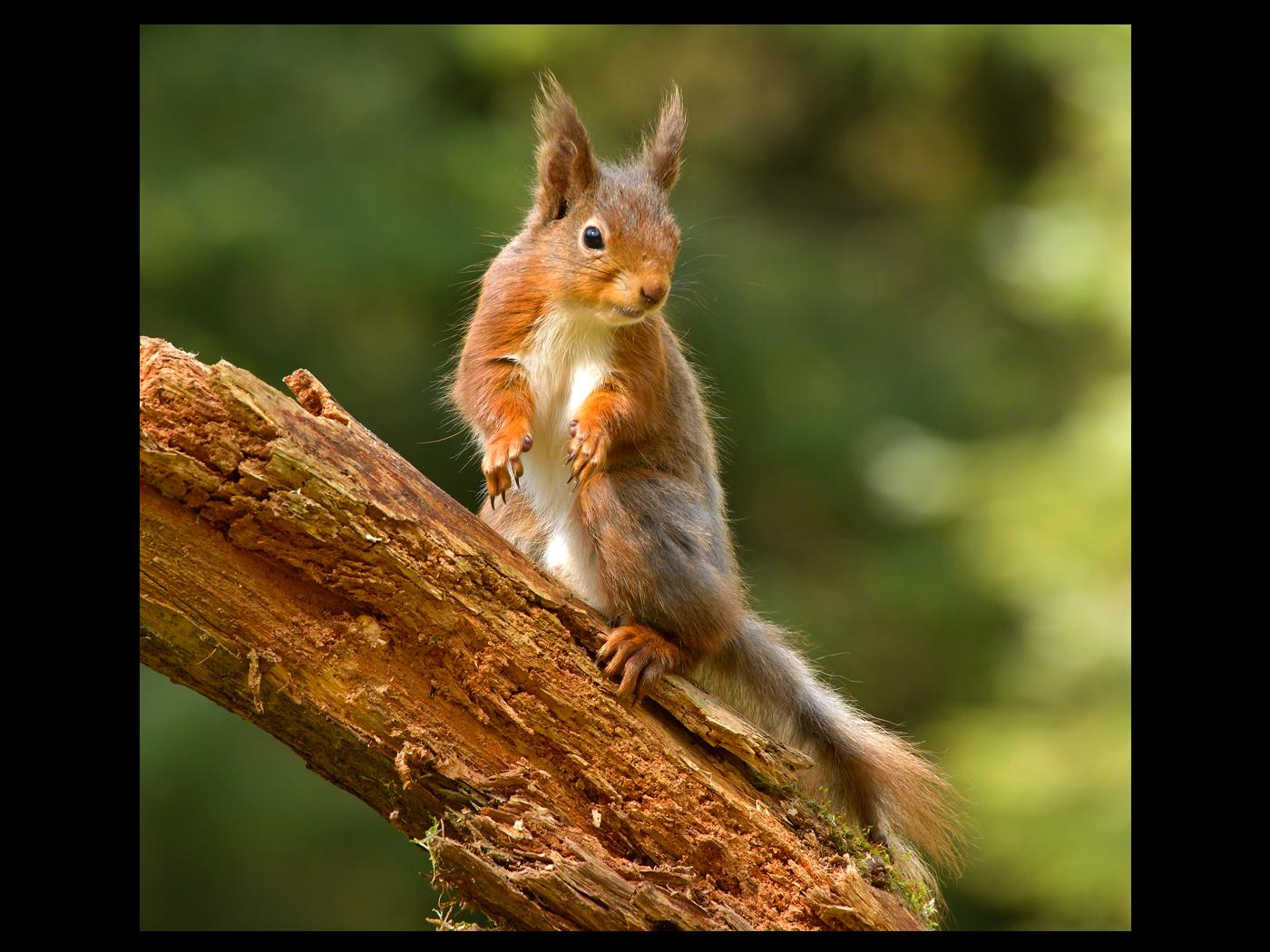 08_Howard Harrison_Red Squirrel
