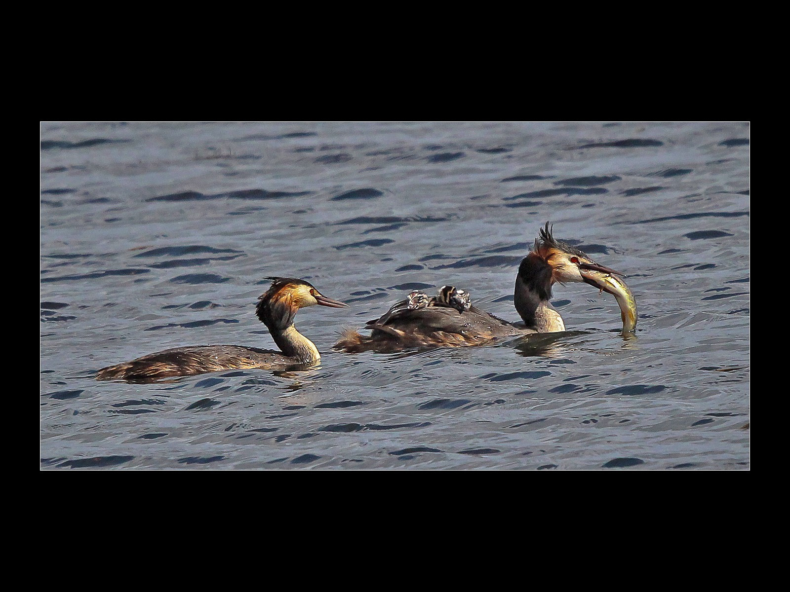 Grebe Family with fish