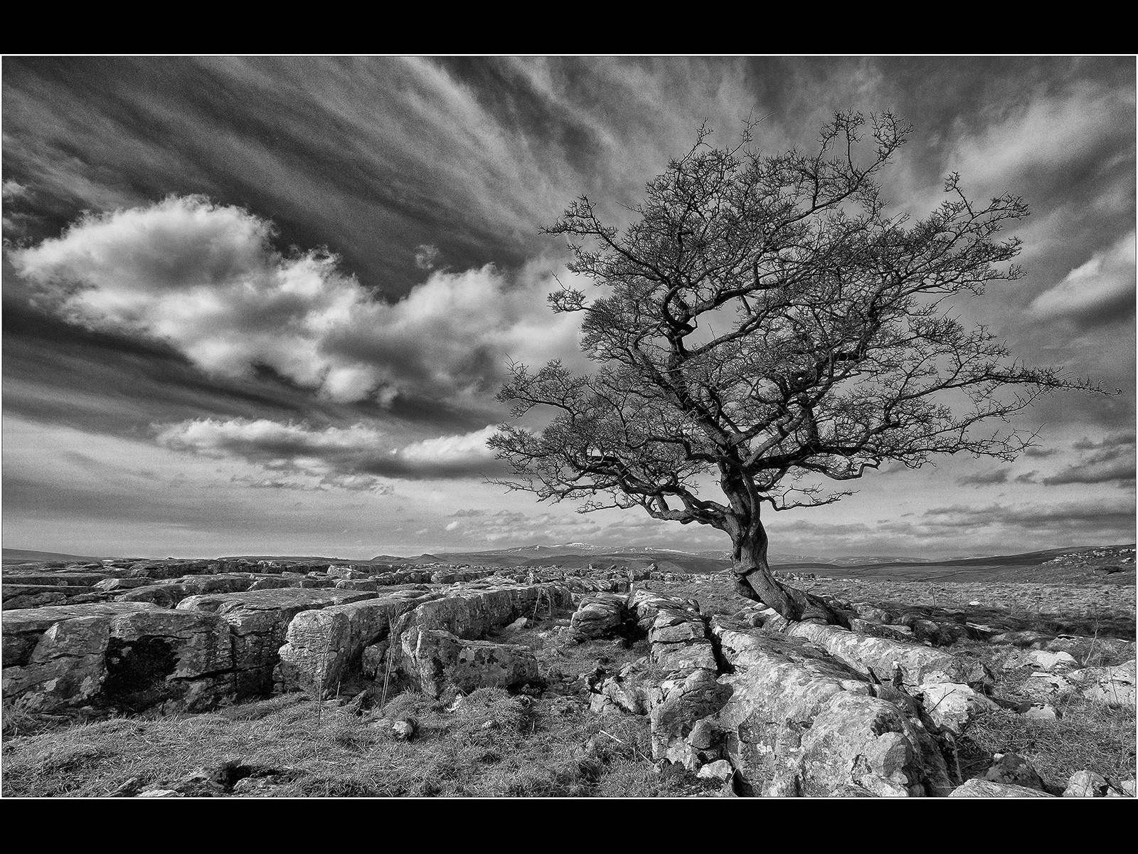 Lone Tree at Winskill