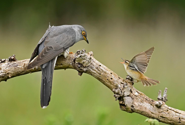 Sedge Warbler Confronting Cuckoo