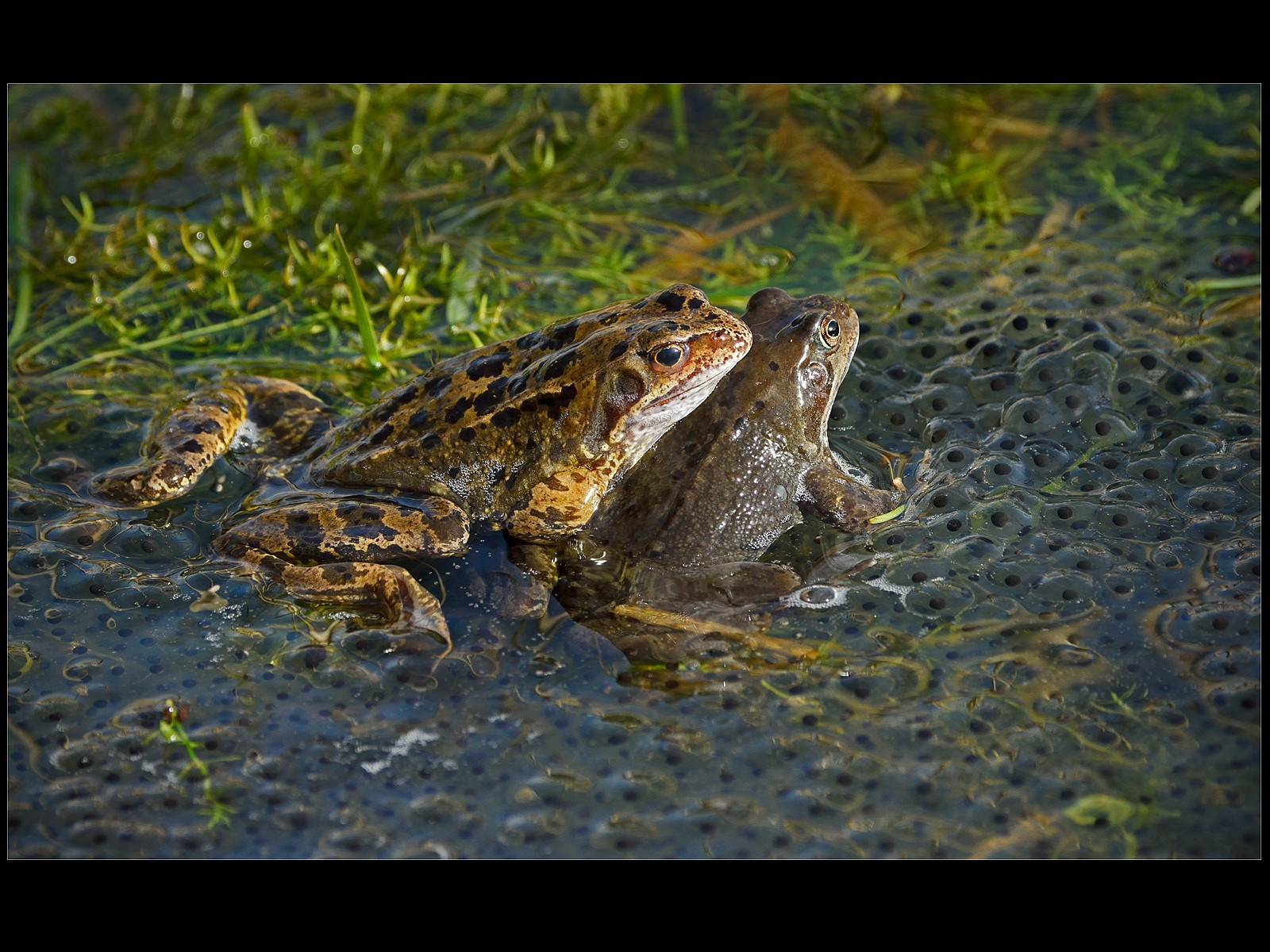 Common Frogs with Spawn