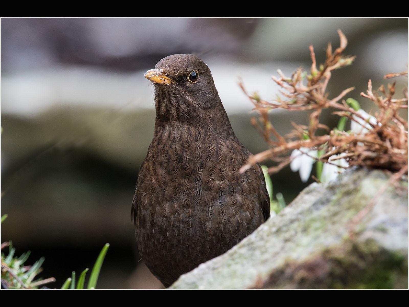 3Y8A1477 blackbird