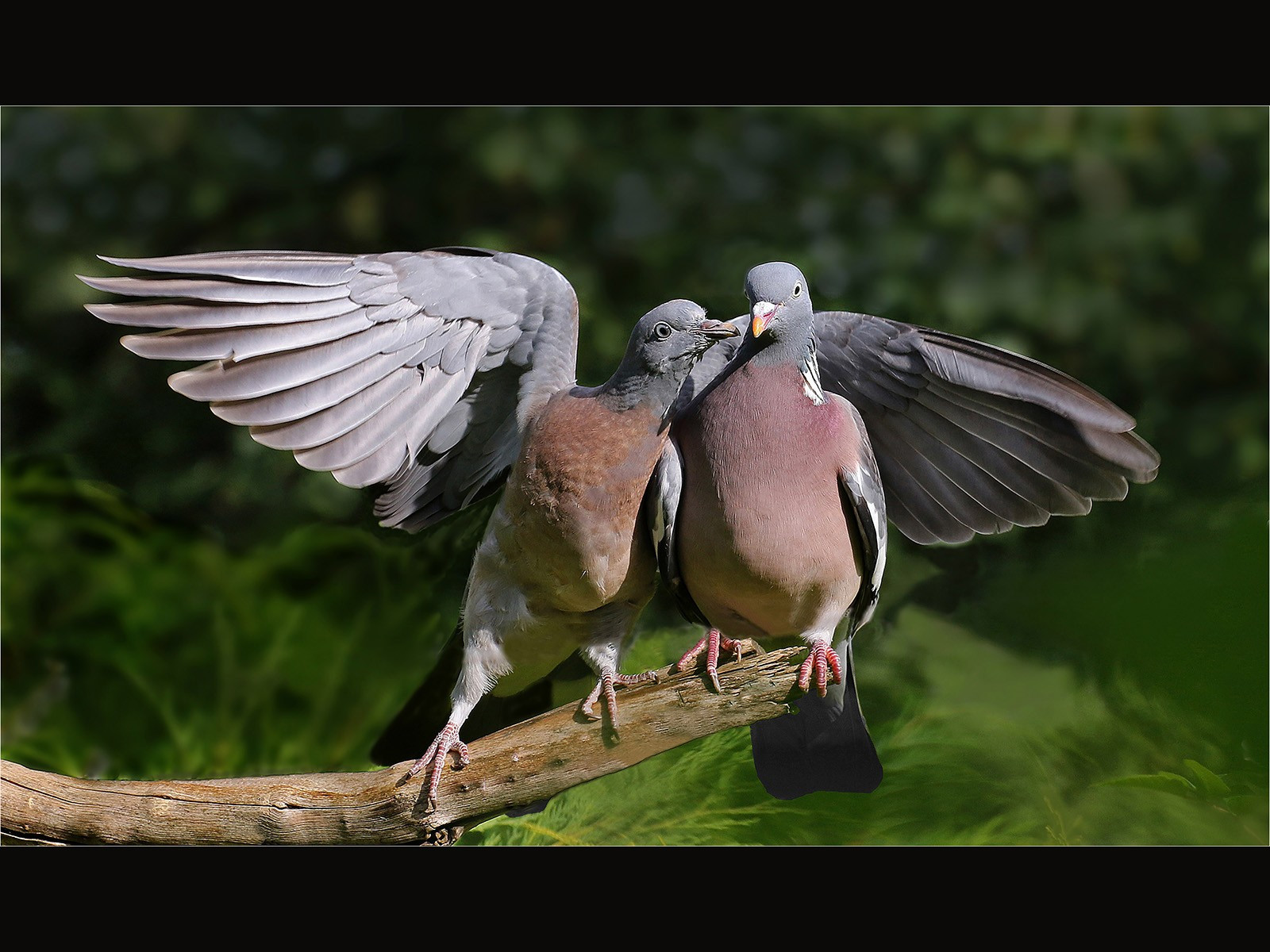Young Wood Pigeon Begging Food