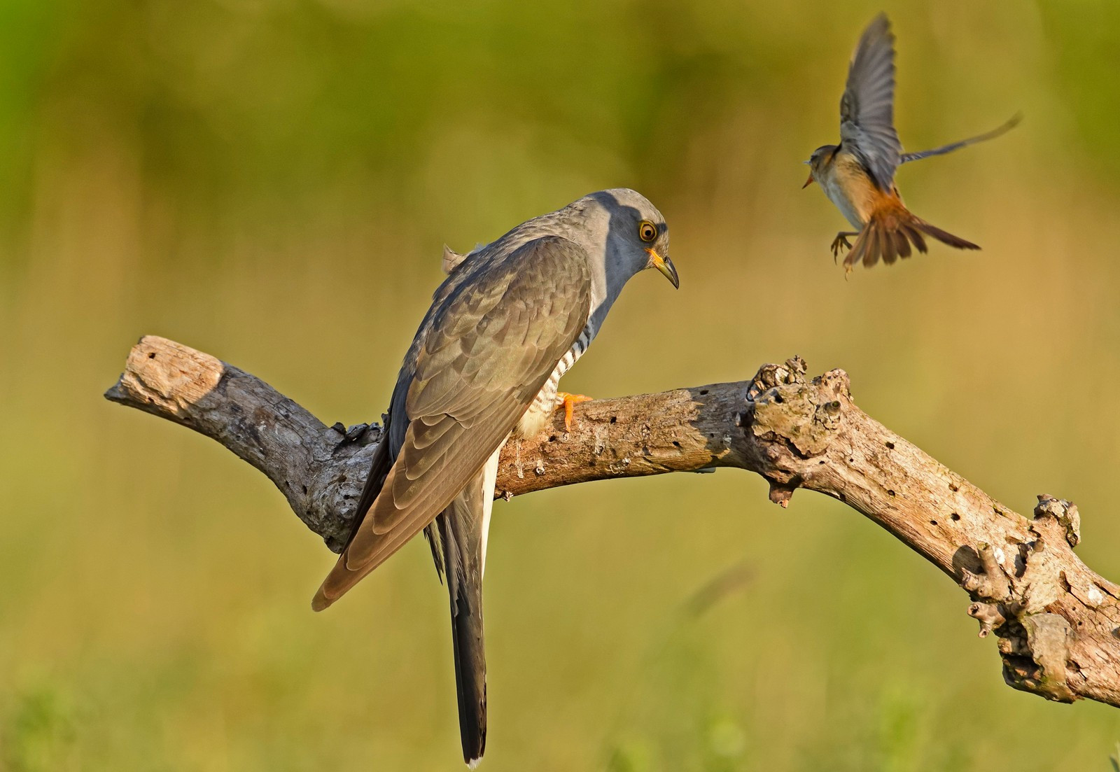 Common Cuckoo with Sedge Warbler