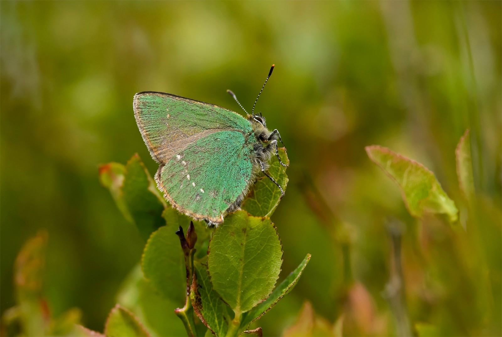 Green Hairstreak male worn