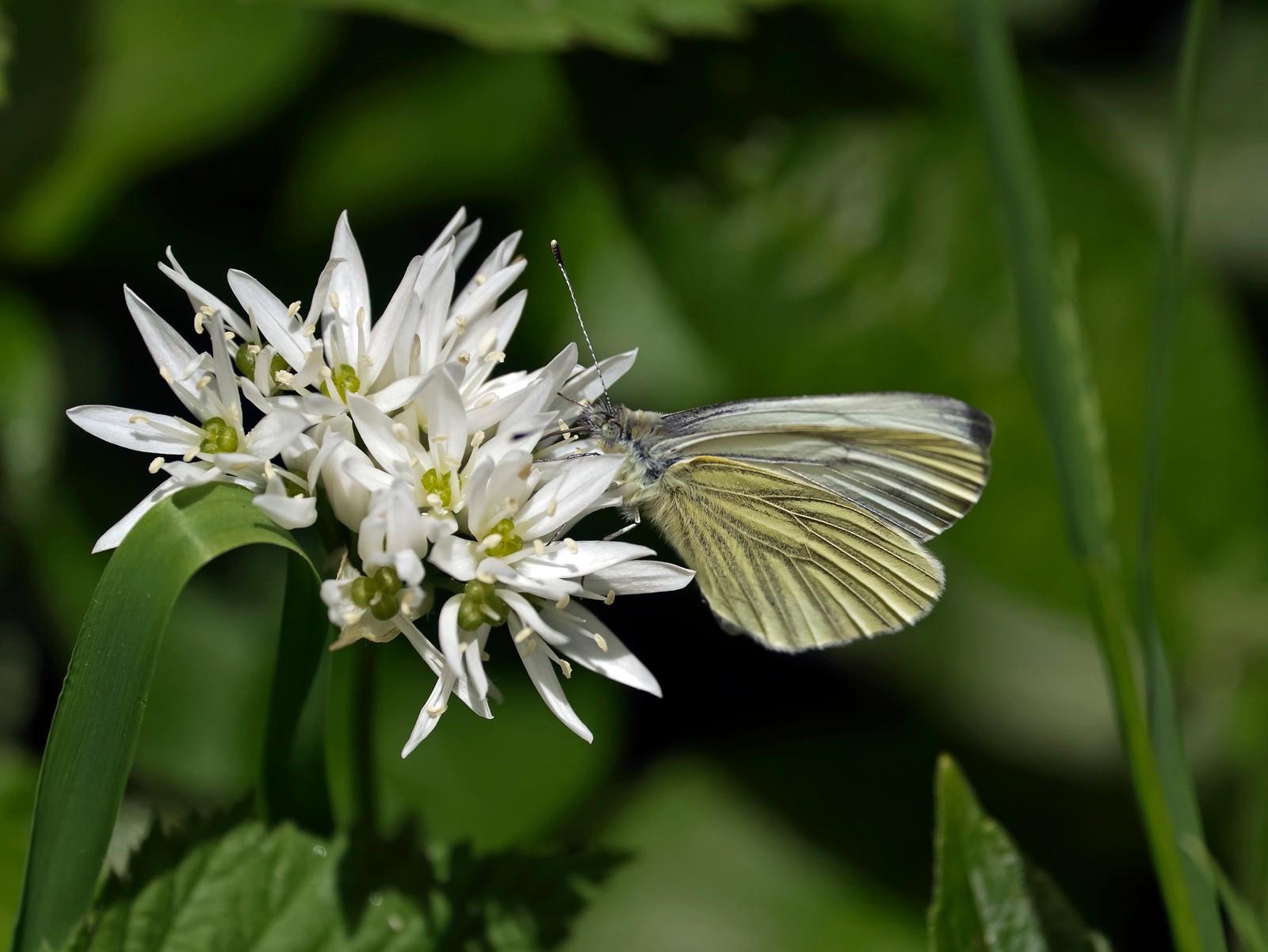 Green-veinedl White on Ransoms