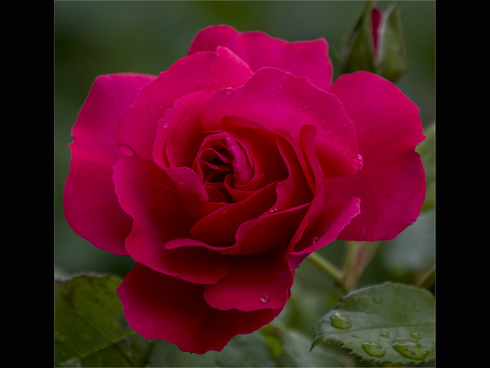 My cherished garden rose