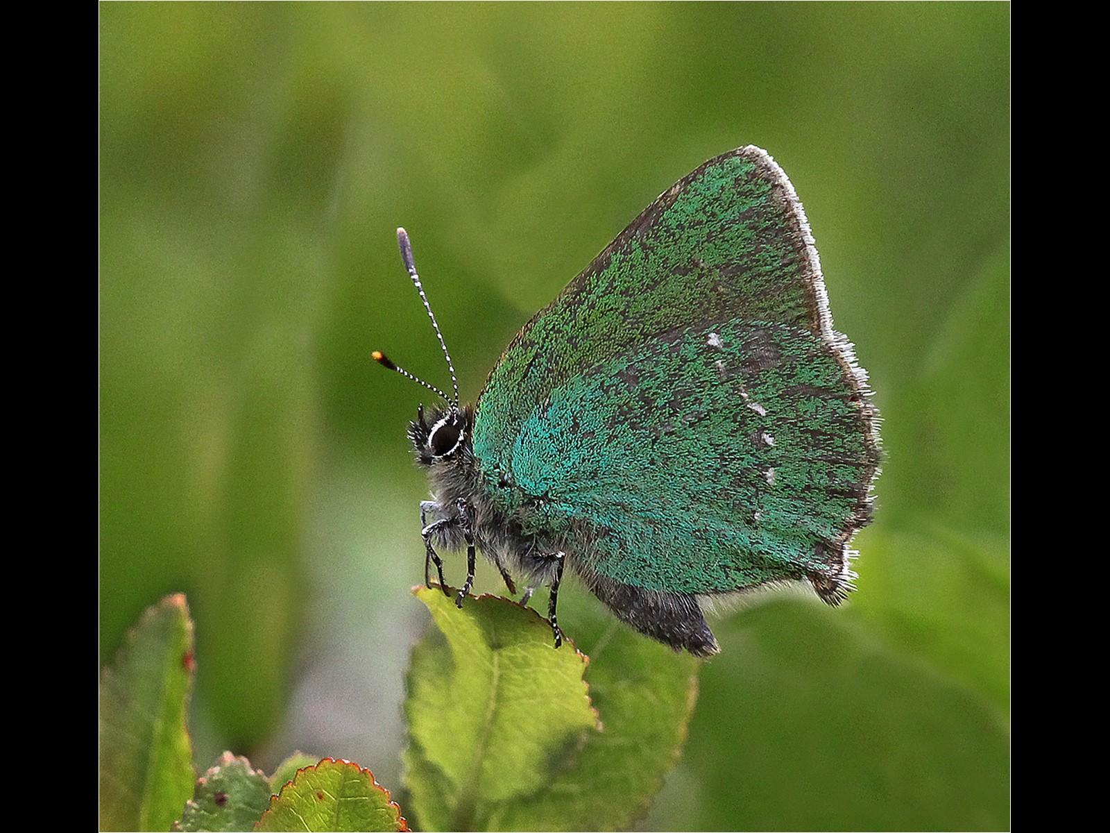 3.Green Hairstreak Butterfly