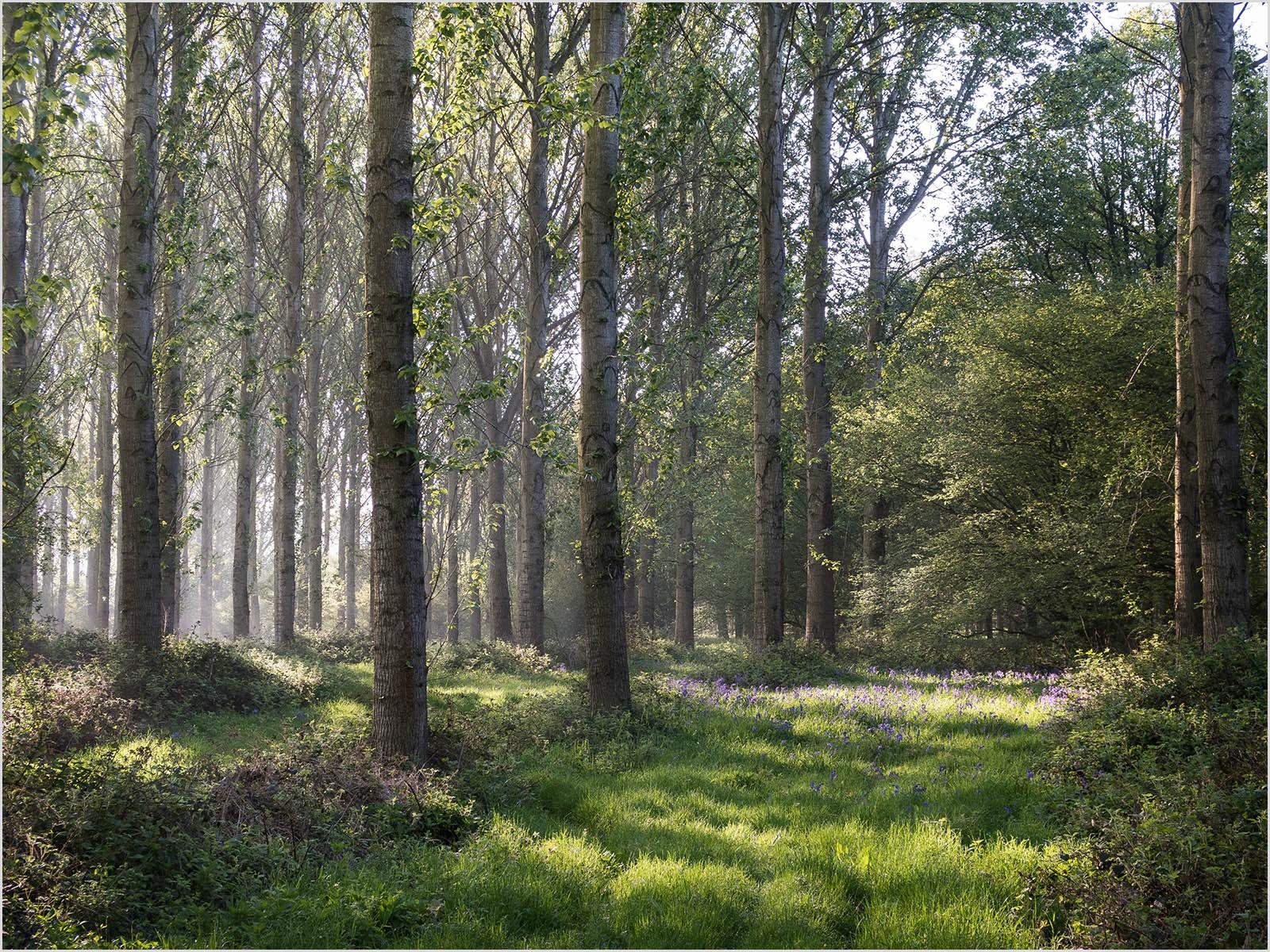 9.Misty Morning in Bluebell Woods