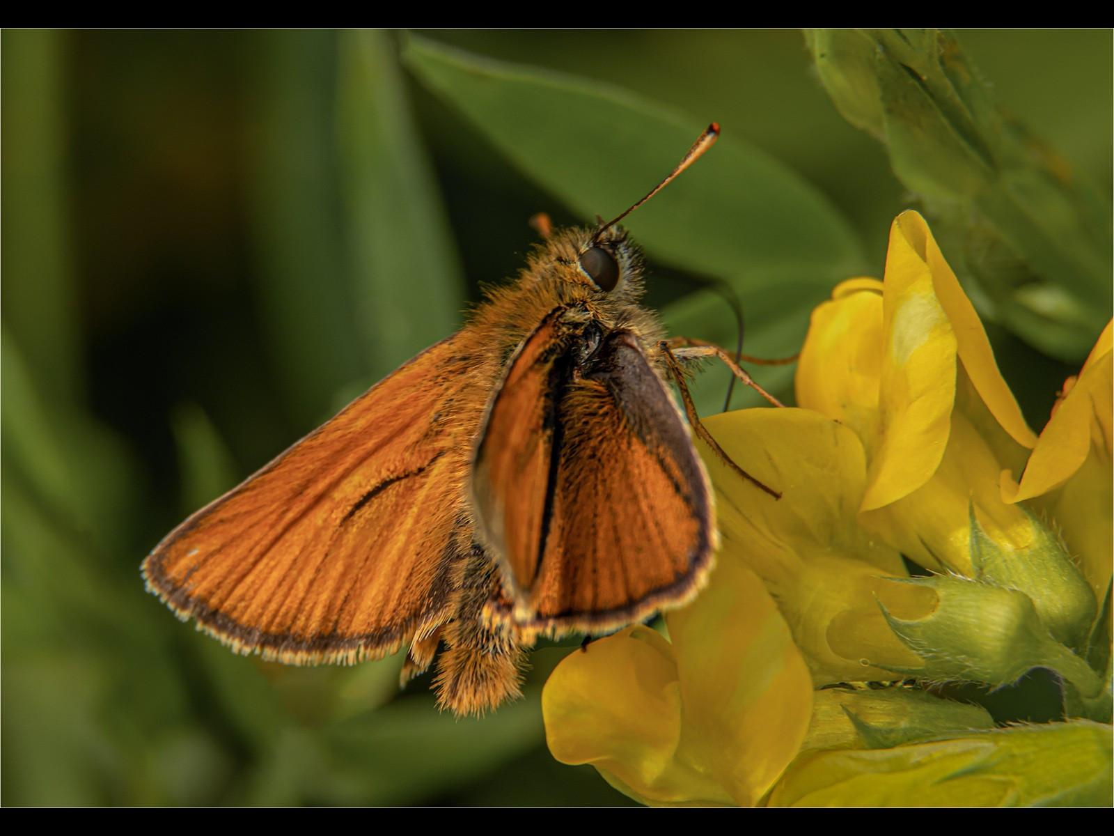 4.Large Skipper Butterfly