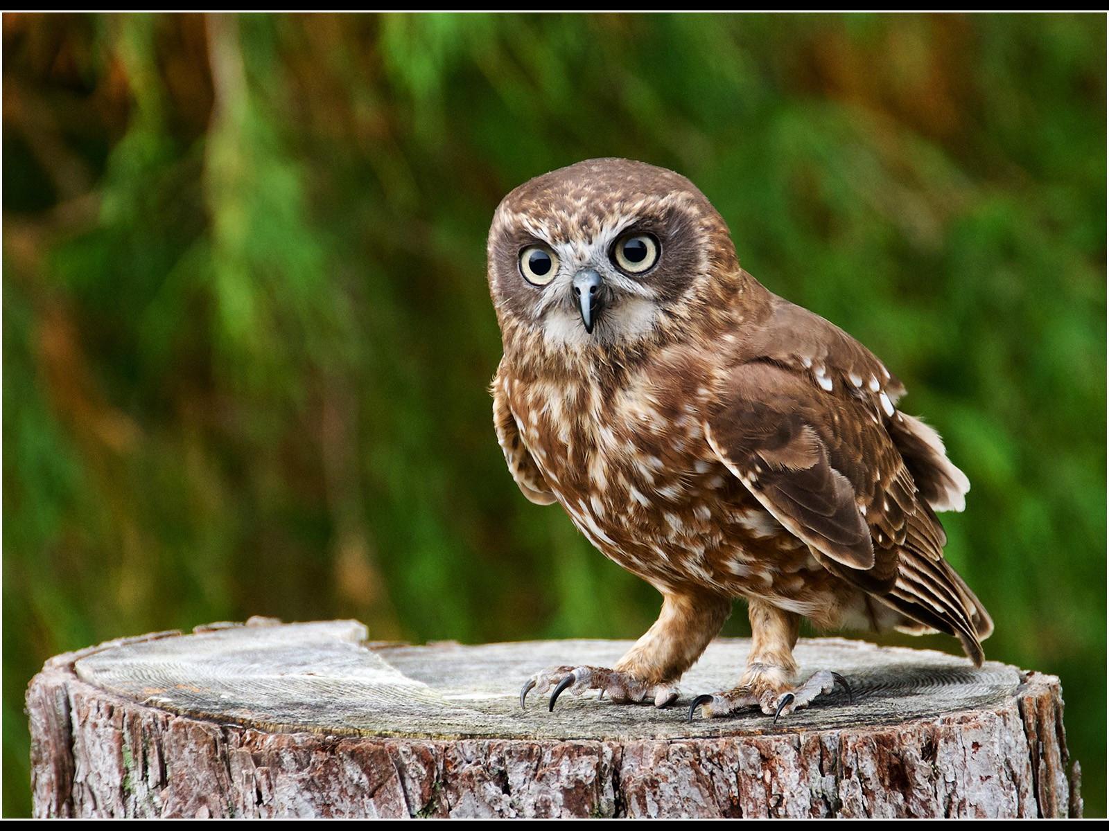 7. Burrowing Owl. jpg