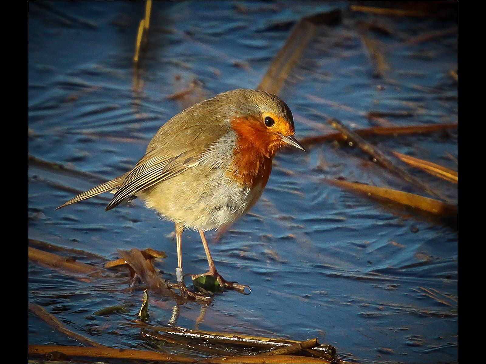 13. A Christmas Robin
