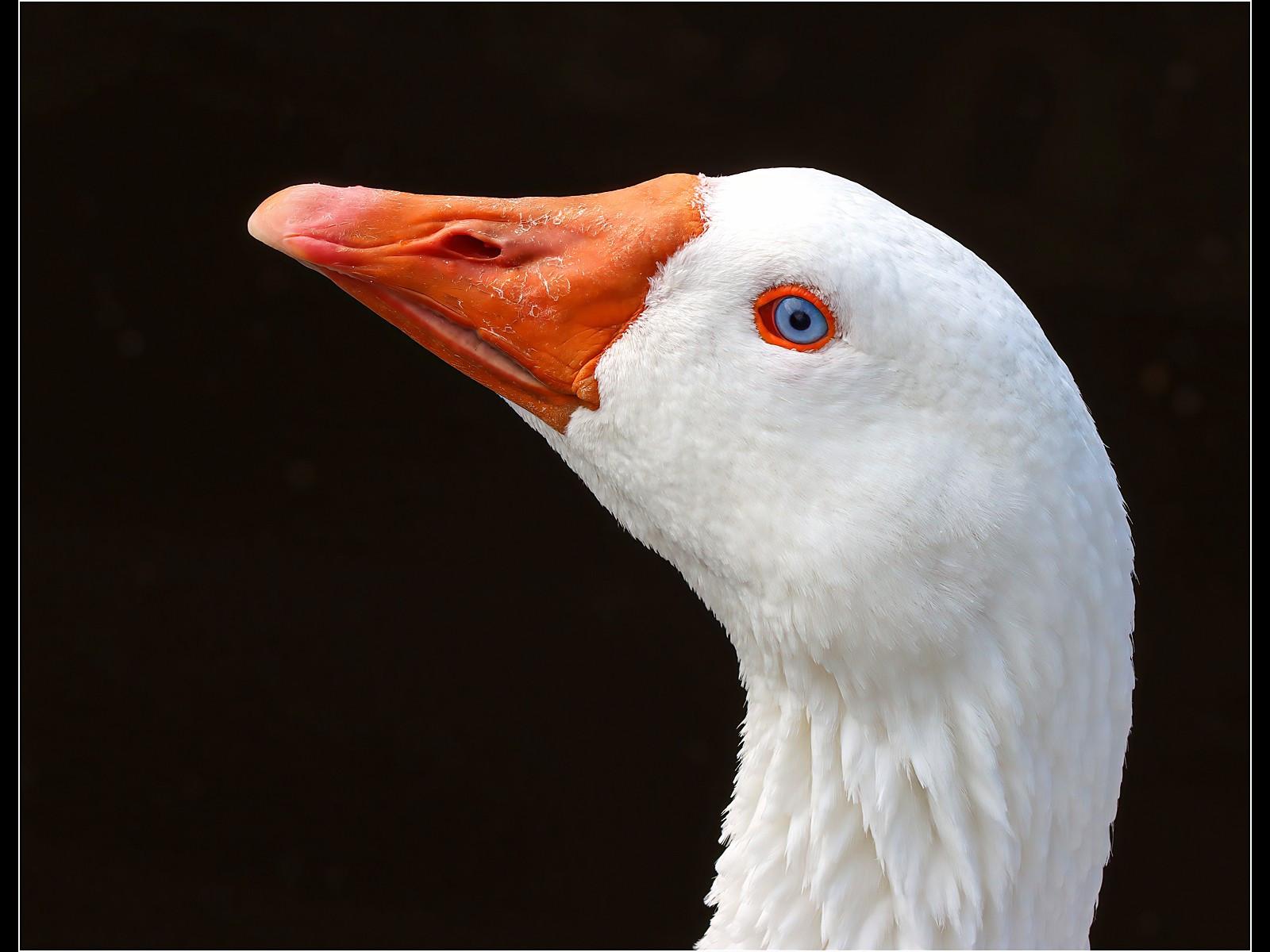 16. Embden Goose,Head Detail