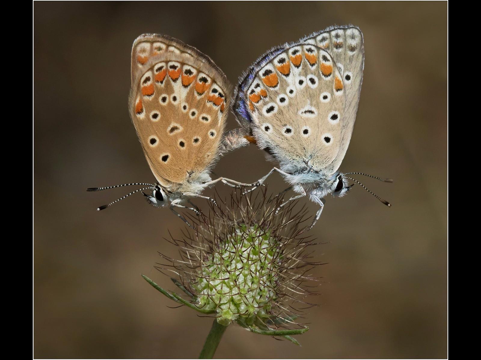 Common Blue Butterflies - Mating