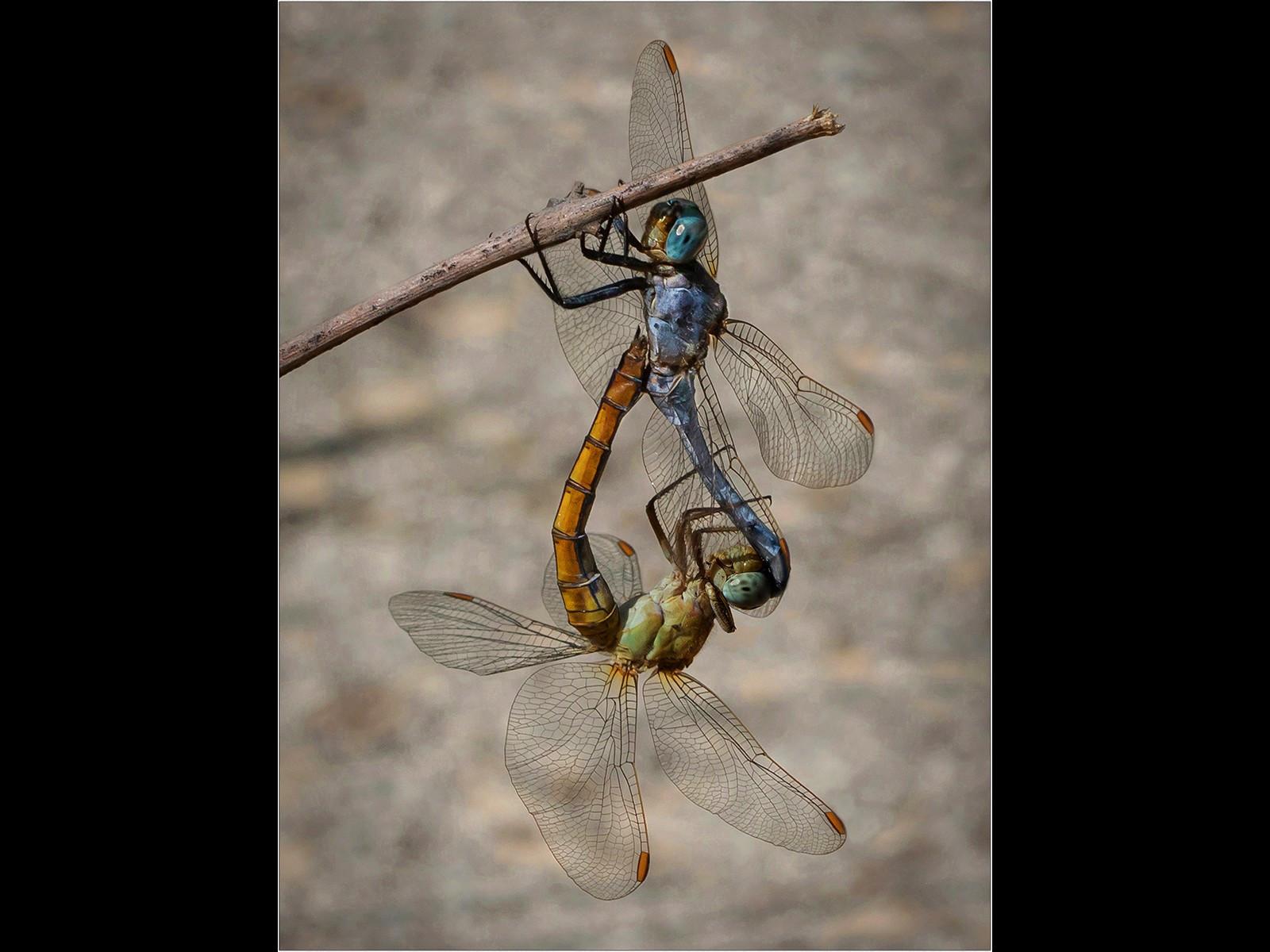 Keeled Skimmer Dragonflies - Mating
