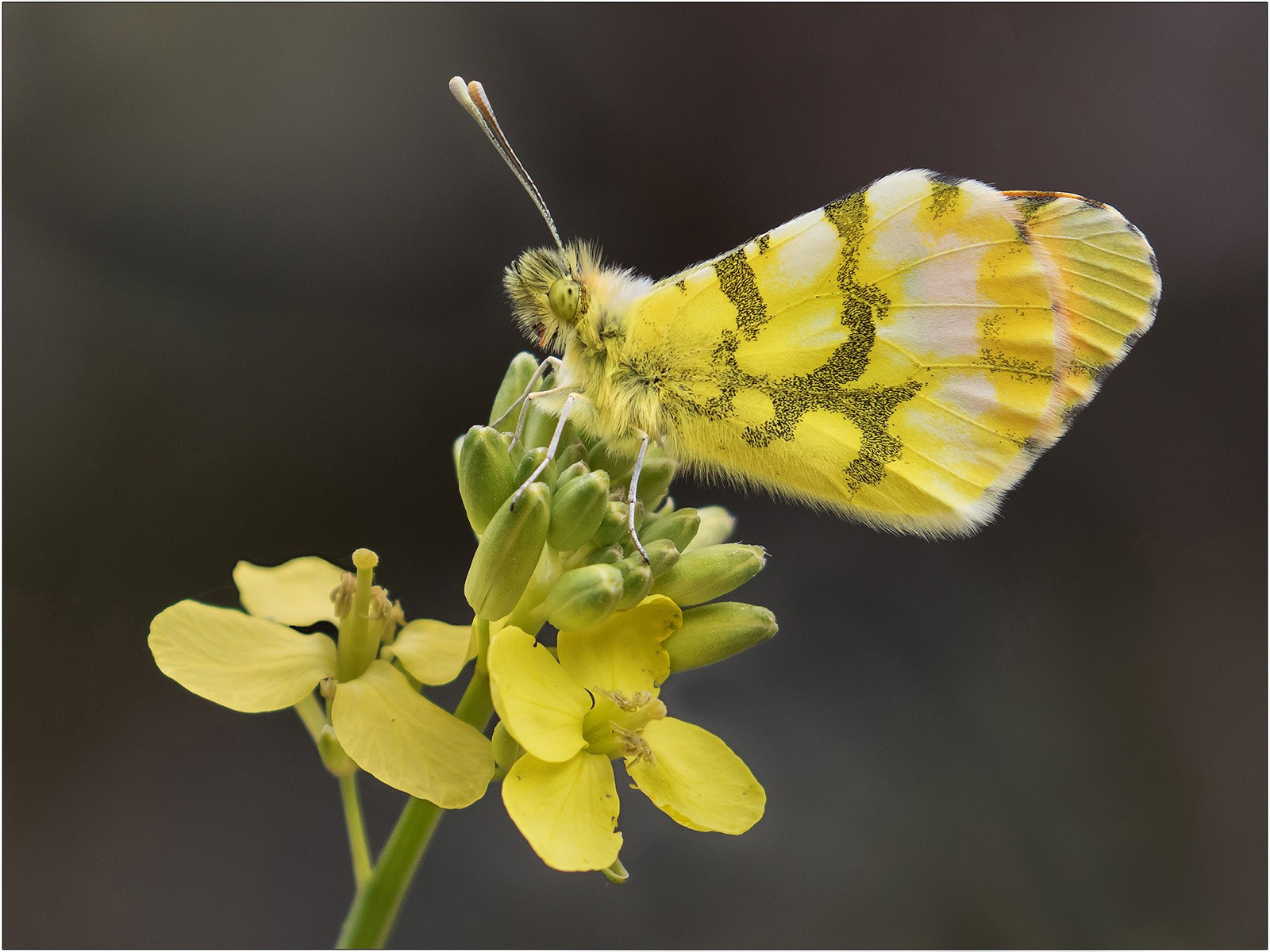Moroccan Orange Tip Butterfly