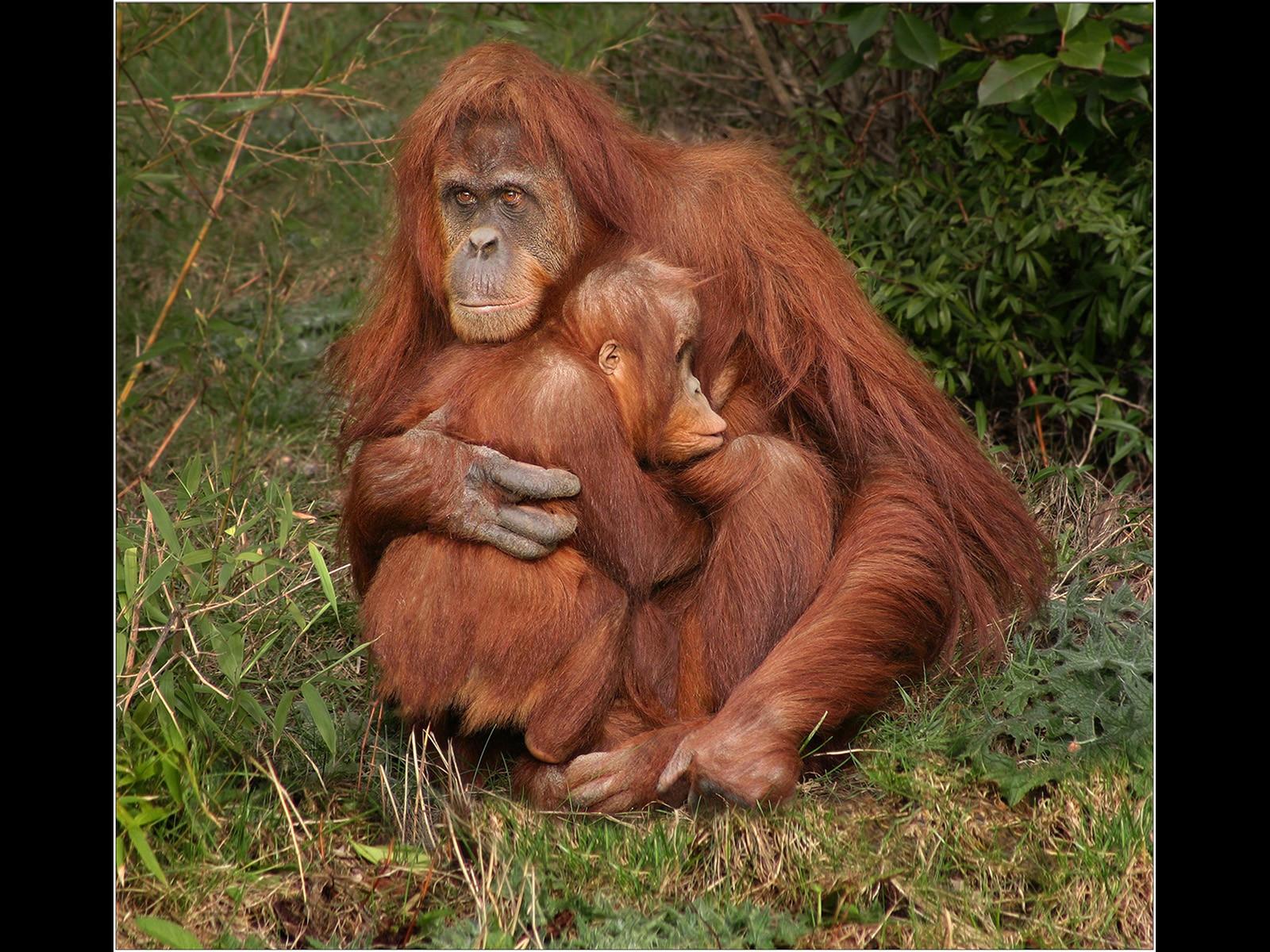 Mother & Young Orangutans