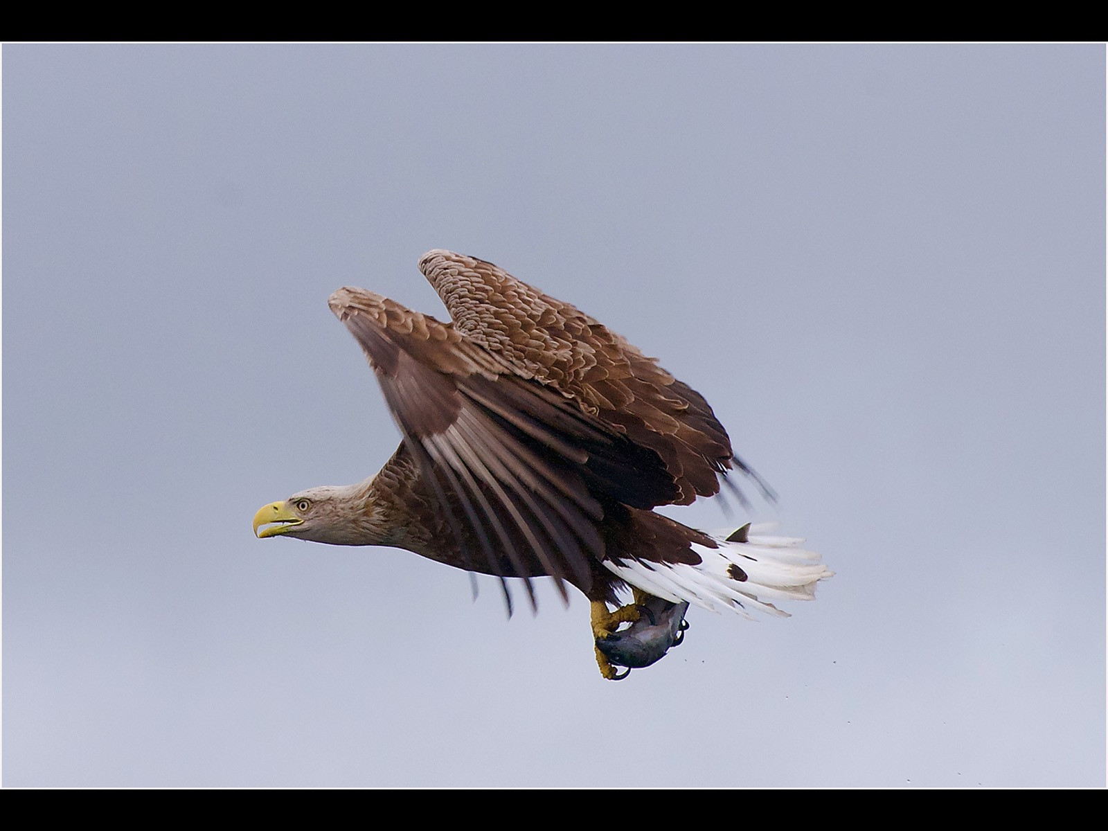 2. White Tailed Eagle  with fish