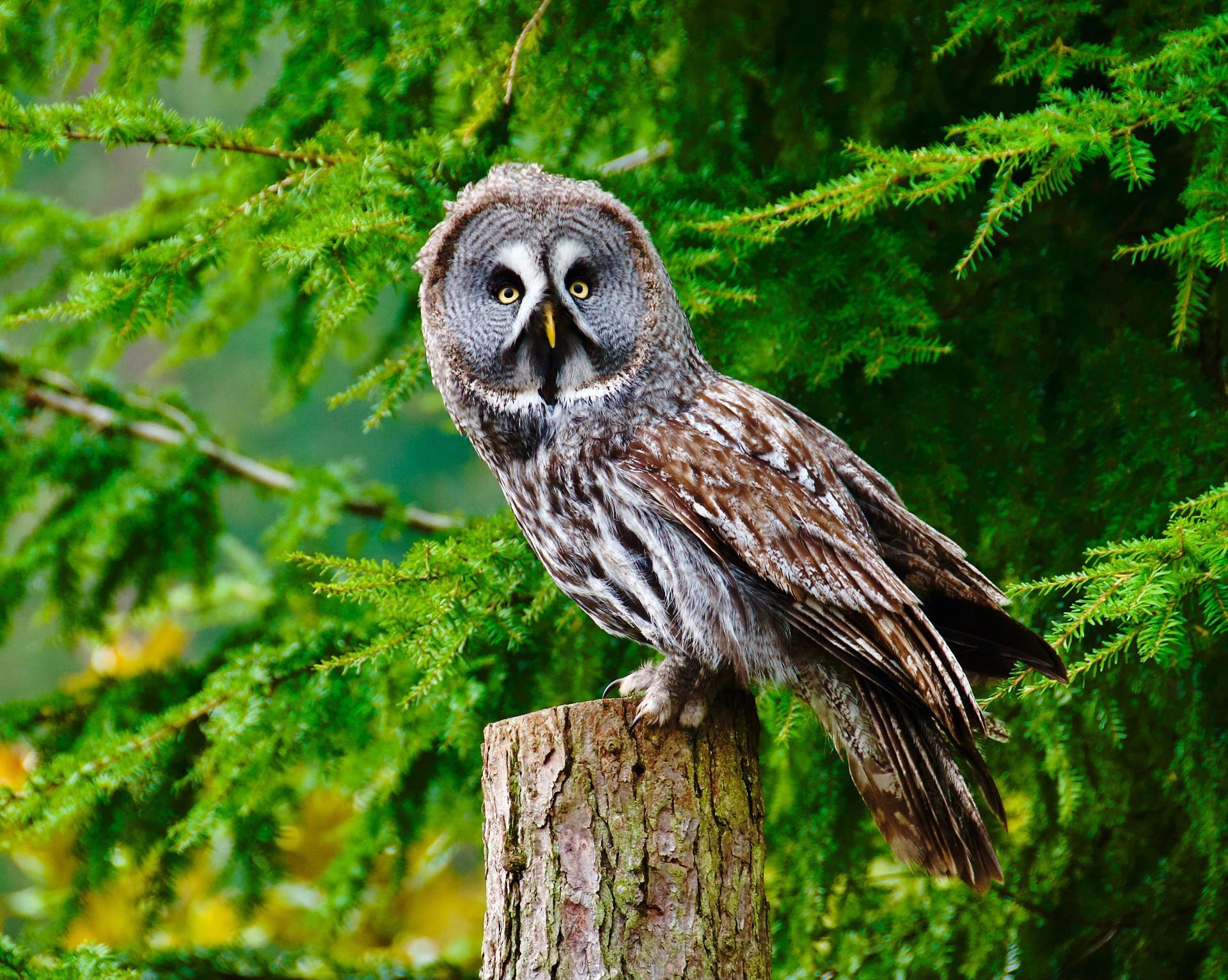 21. Great Grey Owl