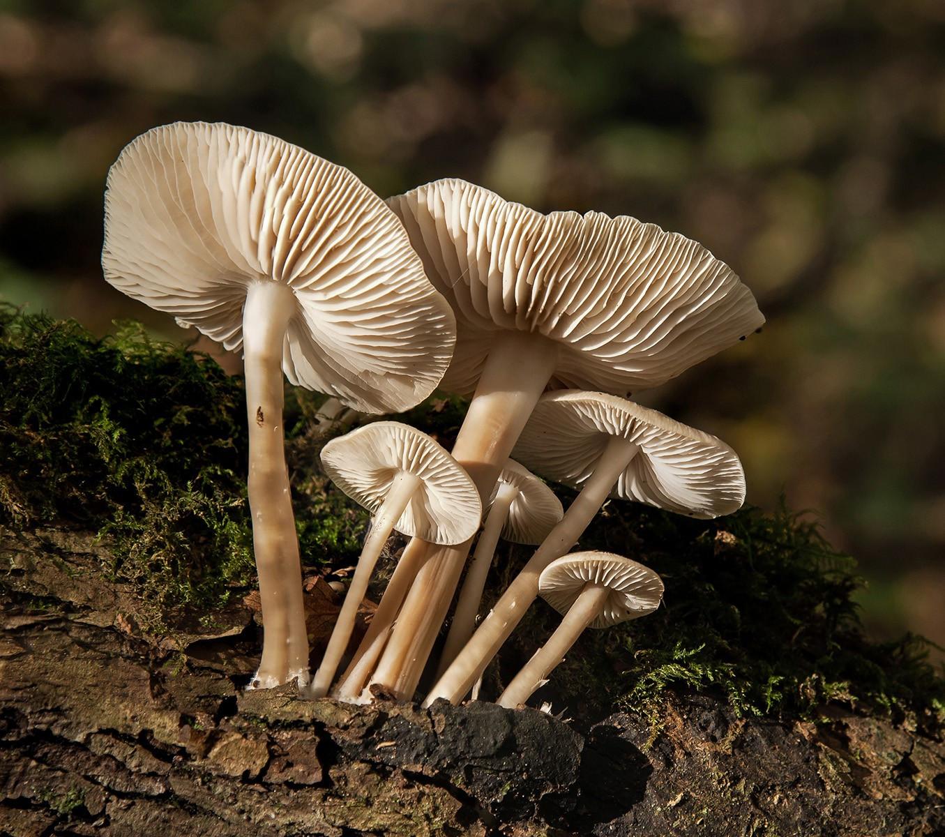 22. Common Bonnet Fungus.