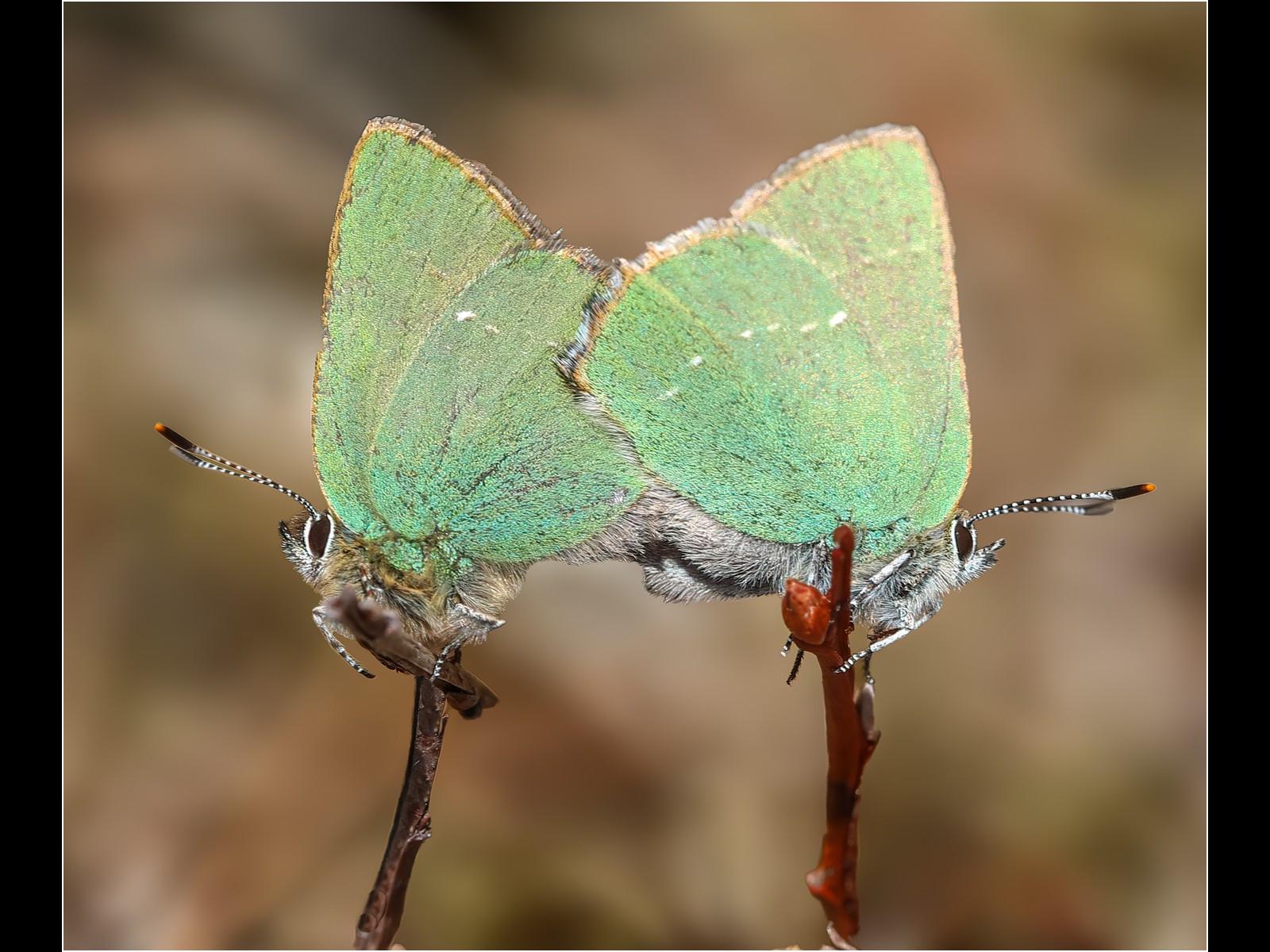 30. Green Hairstreak Mating