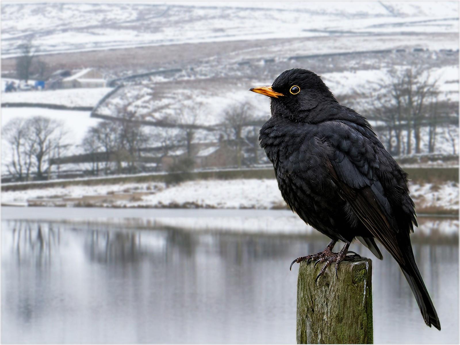 31. Blackbird in Winter