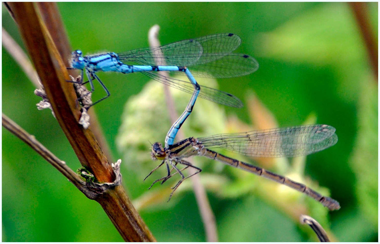 Mating Danasellfly