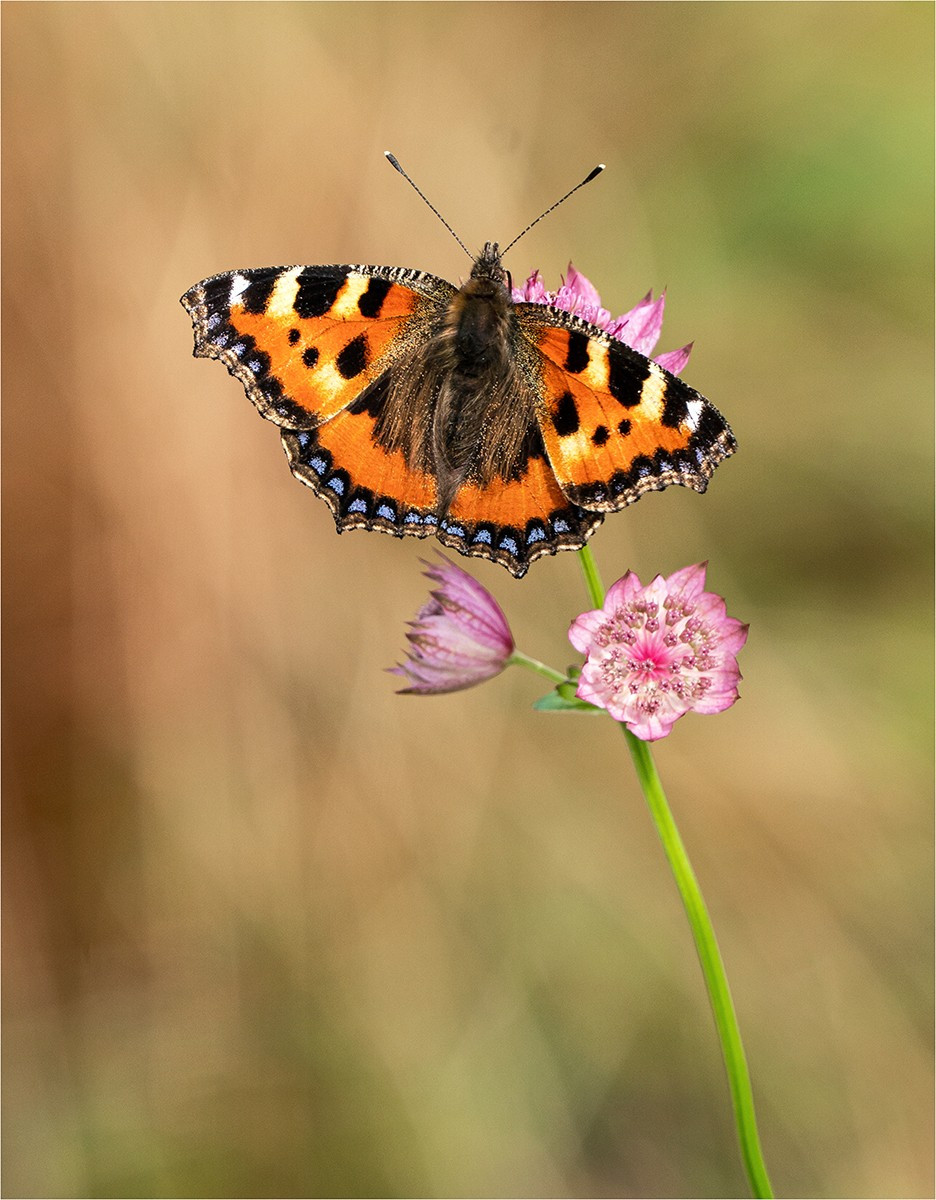Small tortoise shell butterfly on Astrantia .