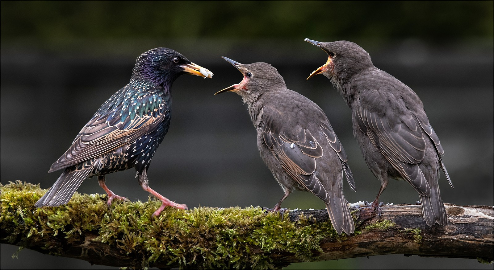 Two Fledgeling starlings begging for food..