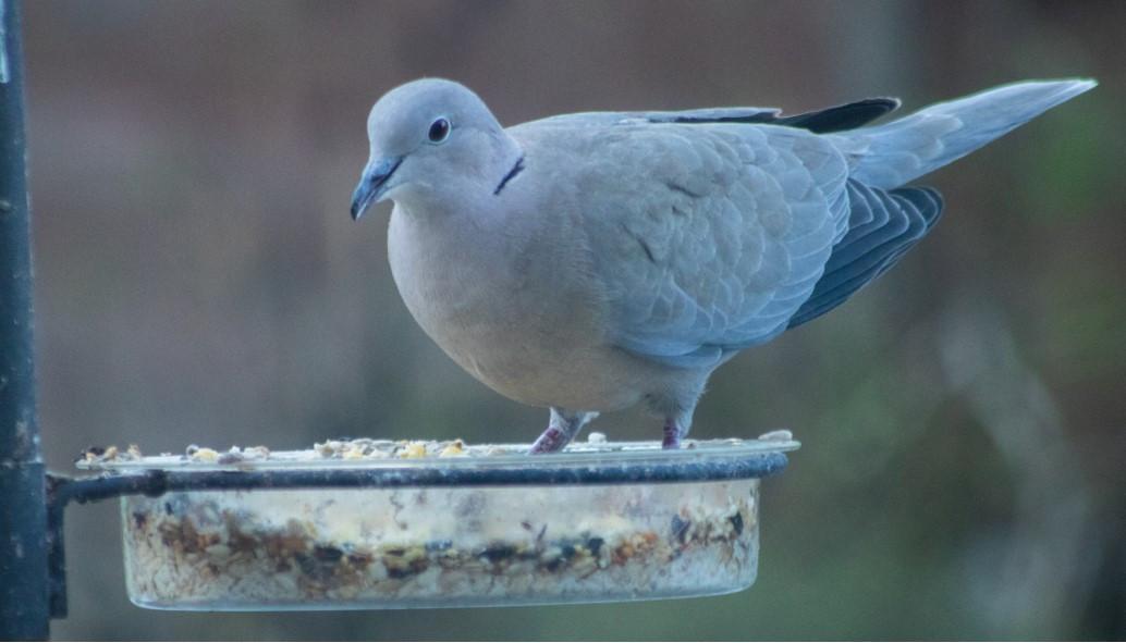 1.Collared Dove