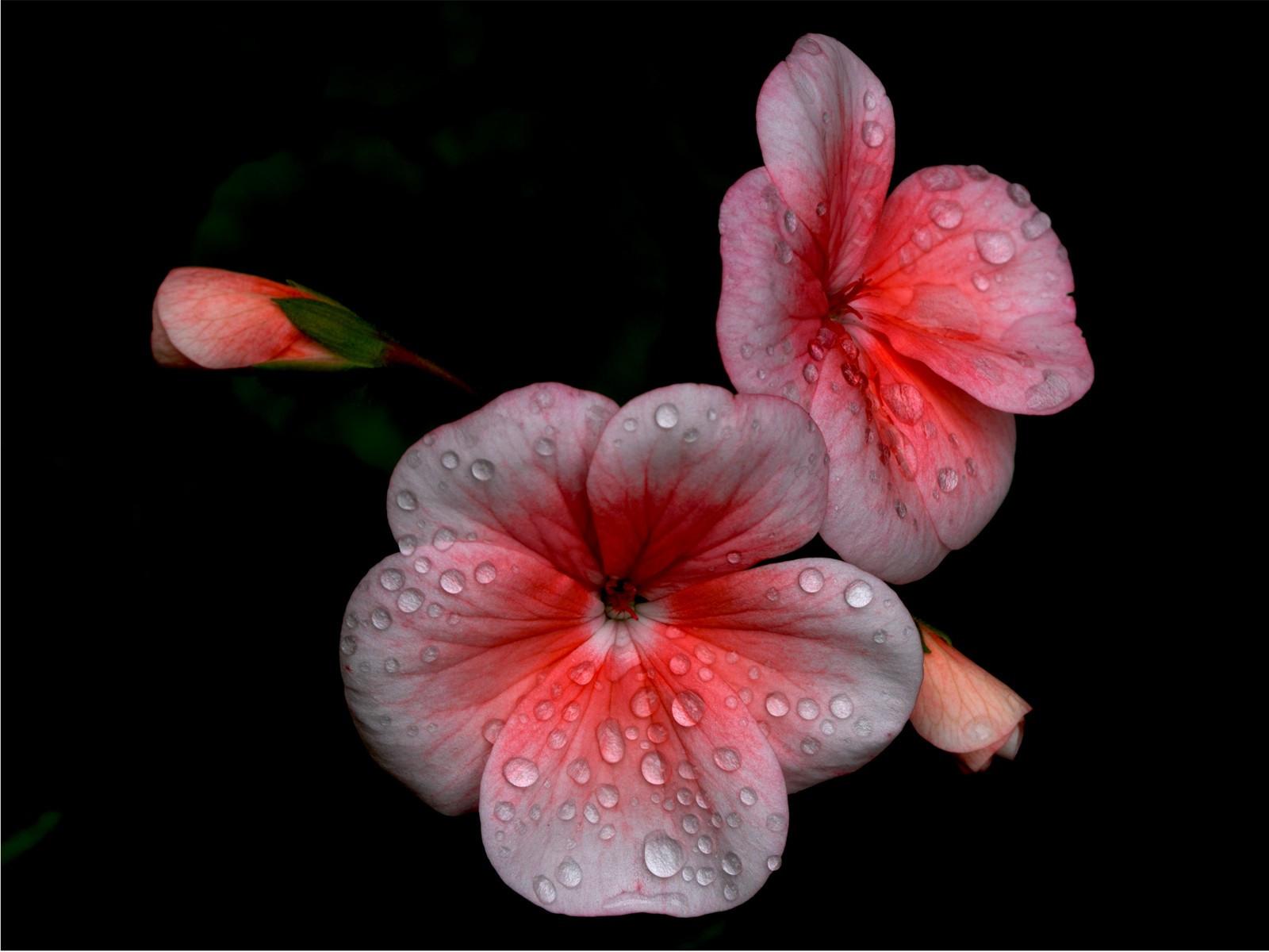 2.Geraniums in the rain