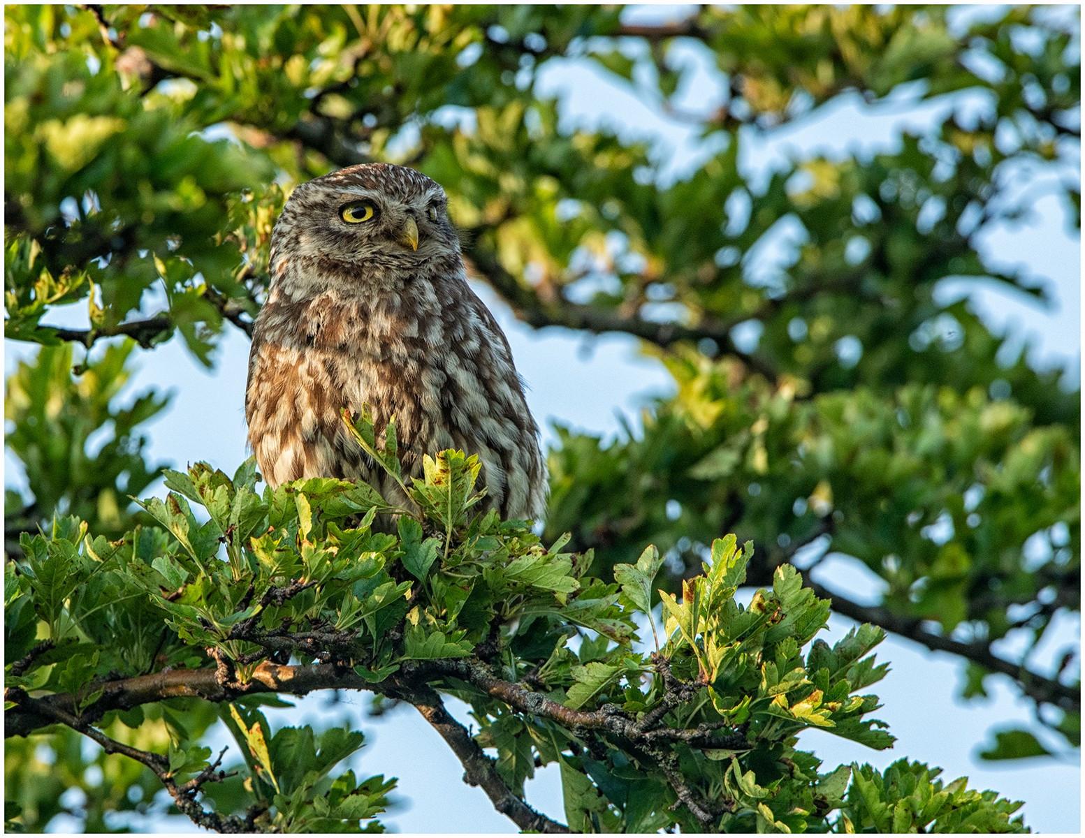 15.Little Owl..