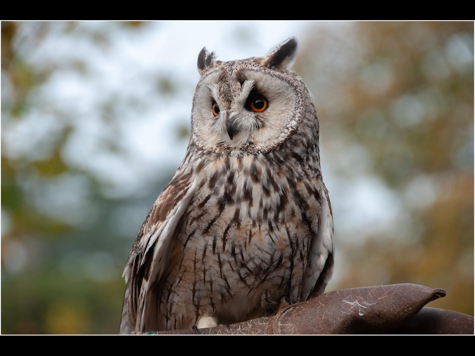 19.Long Ear Owl