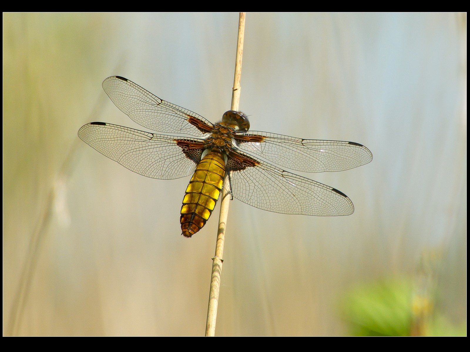 Broad-bodied Chaser- female