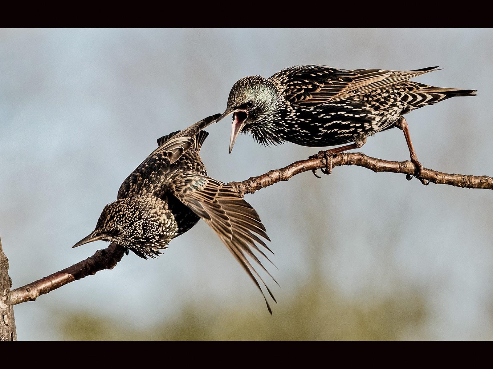 Starling Dispute