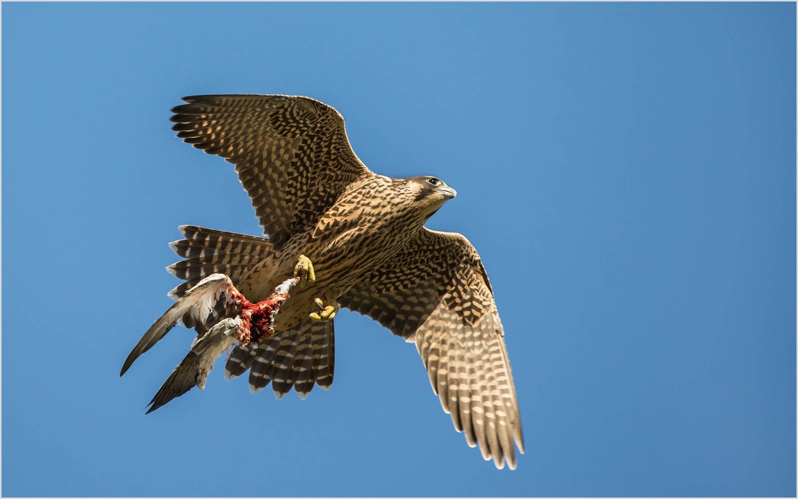 10. Young Peregrine with prey